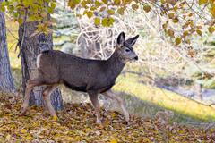 Baby Canadian Mule Deer in the Woods Kuvituskuvat