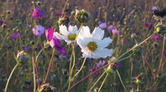 White and pink cosmos flowers sway on the wind, closeup Stock Footage