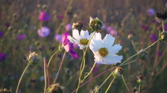 White cosmos flower sway on the wind, slow motion Stock Footage
