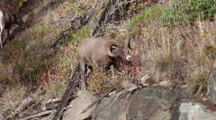 Bighorn sheep,Ovis canadensis, rams grazing Arkistovideo