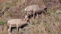 Bighorn sheep,Ovis canadensis, rams grazing Stock Footage