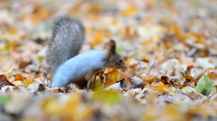 Little red squirrel in autumn leaves Stock Footage