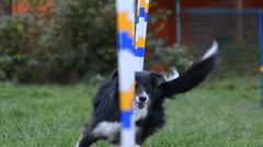 Border collie on Agility training Stock Footage