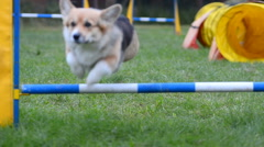 Welsh corgi crossing the barrier Stock Footage