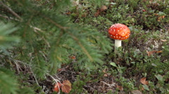 Amanita Muscaria Mushroom Slider Reveal Tree Branch on Tundra HD Stock Footage