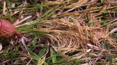 Farmer gathering rice in traditional old-fashioned way. Paddies of Jatiluwih Stock Footage
