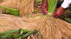 Farmer tying up a sheaf of rice the old-fashioned way. Paddies of Jatiluwih Stock Footage