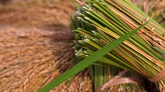Yellow rice sheafs. Rice Paddies of Jatiluwih at harvest time. Closeup. Stock Footage