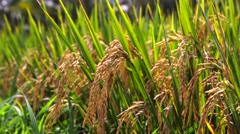 Rice field. Rice Paddies of Jatiluwih at harvest time. Closeup. Bali Indonesia Stock Footage