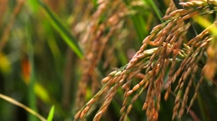 Rice field. Rice Paddies of Jatiluwih at harvest time. Closeup. Bali Indonesia Stock Footage