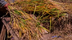 Farmer cleaning and threshing the rice sheafs from the stalks. Rice Paddies Stock Footage