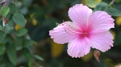 Pink Hibiscus Flower 4K Footage with Bokeh Effect Nature Background Stock Footage
