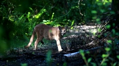 A young female Florida panther was sighted Stock Footage