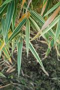 Bamboo variegated leaves in a garden. Stock Photos