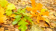 Oak, birch and beeches leaves on ground. Detail view.  Slow camera movement Stock Footage