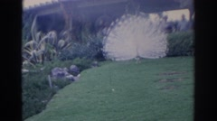 1966: albino peacock displays feathers at zoo FLORIDA Stock Footage