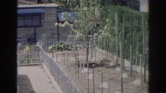 1966: view of a neatly fenced garden in the backyard of a house  Stock Footage