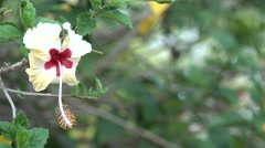 4K Flower Amazing Mixed Colors Hibiscus with Bokeh Effect Stock Footage