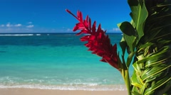 Teuila red flower agains beach on Samoa Islands Stock Footage