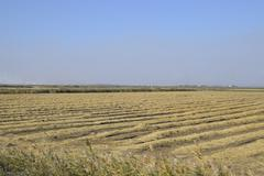 Harvesting rice in the fields. Beveled rice in field Stock Photos