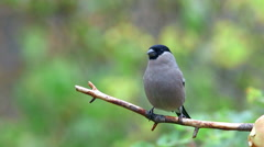 Eurasian bullfinch female perched on branch front view fly away Stock Footage