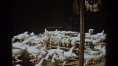 1939: numerous chickens gathering. AUBURN CALIFORNIA Stock Footage