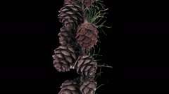 Time-lapse of opening larch cones, RGB + ALPHA matte Stock Footage