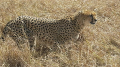 Tracking shot of a cheetah walking to the right in masai mara, kenya Stock Footage