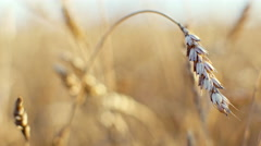 Ears of wheat close up. Harvest and harvesting concept. 4K video of field with Arkistovideo