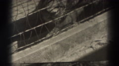 1937: close shot of lion sleeping beyond wire fence EL MONTE CALIFORNIA Stock Footage