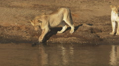 A young lion tests the water with its paw at masai mara, kenya Stock Footage
