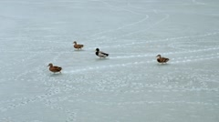Group of ducks walking on new thin ice at early winter Stock Footage