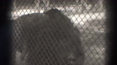1937: three lions in a zoo, one pacing while the other two lie down together  Stock Footage