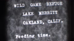 1937: wild game refuge lake merritt oakland, calif. feeding time. OAKLAND Stock Footage