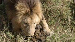 A male lion appears to eat elephant dung in masa mara national park, kenya Stock Footage