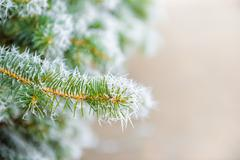 Branches of Christmas fir-tree with rim frost in winter forest, close up, cop Stock Photos