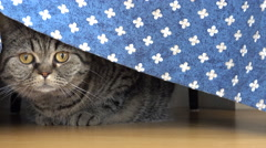 Curious and playful cat hiding under table behind tablecloth Stock Footage