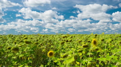 Timelpase video of beautiful sunflower filed ready to be harvested Stock Footage