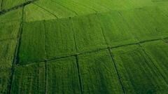 Aerial drone motion green field wide rice plantation blue sky background pattern Stock Footage