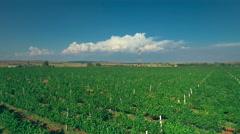 Grapevine plantation horizon aerial sunny day blue sky grape vineyard antenna Stock Footage