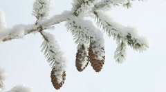 Fir branches with many fir cones covered with hoar frost Stock Footage