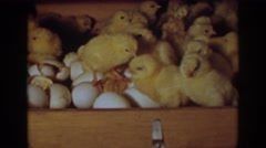 1939: a bunch of small chickens stepping over a bunch of eggs in a wooden box Stock Footage