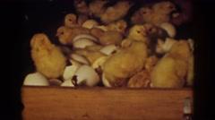1939: baby chicks hatching AUBURN CALIFORNIA Stock Footage