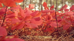 Closeup of red tree leaves. Yellow autumn forest on the background. Stock Footage