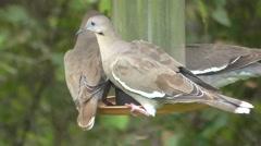 White-winged Dove (Zenaida asiatica) Stock Footage