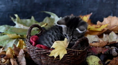 Kitty in wicker districts sniffing yellow dry leaf Stock Footage