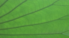 Lotus leaf ribbed macro zoom out 4k UHD Stock Footage
