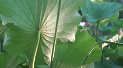 Lotus leaf ribbed macro in sun static shot 4k UHD Stock Footage