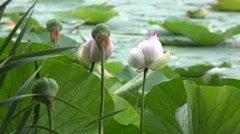 Withered lotus blossom(Nelumbo nucifera)lotus flower plants ducks zoom in 4k UHD Stock Footage