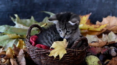 Kitten sniffing yellow dry leaf Stock Footage